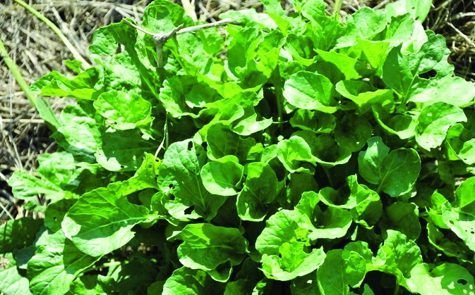Barbarakraut/ Barbarea vulgaris