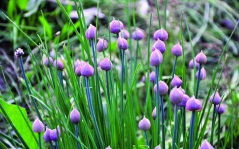 Bauerngarten-Schnittlauch/ Allium schoenoprasum sibiricus