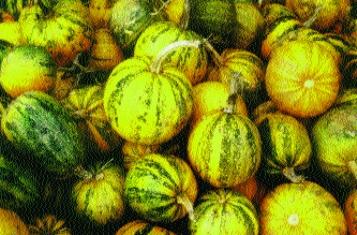 Kürbiskern-Kürbis, Speise- und Arzneikürbis/ Cucurbita pepo