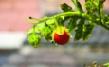 Litchi-Tomaten für das Beet/ Solanum sisymbrifolium