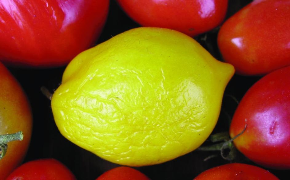 "Paradeis ""Lemon tree""/ Lycopersicon lycopersicum"
