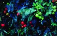 "Paradeis ""Siberia""/ Lycopersicon lycopersicum"