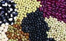 """Buschbohne """"Reisbohne""""/ Phaseolus vulgaris nanus"""