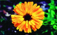 Ringelblume/ Calendula officinalis