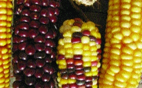 Roter Mais/ Zea mays