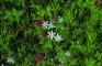Rotklee/ Trifolium pratense