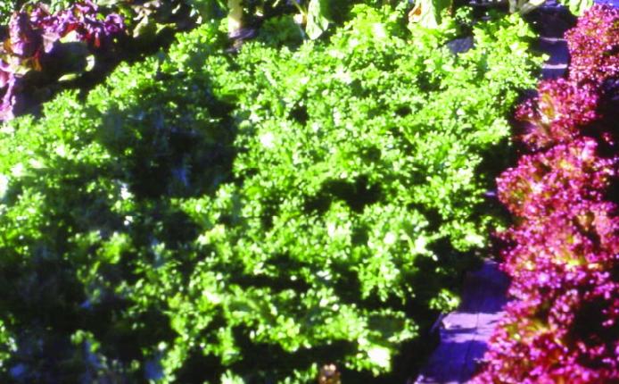 Grüner Eichblattsalat/ Lactuca sativa