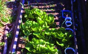 Salat Maibutter/ Lactuca sativa