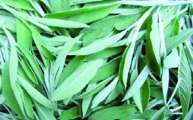 Salbei/ Salvia officinalis