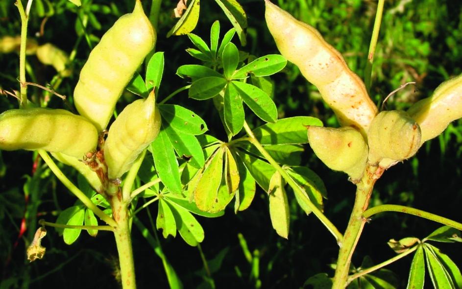 Speiselupine/ Lupinus polyphyllos