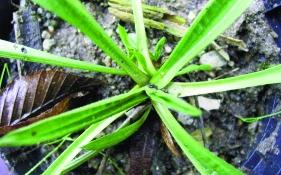 Spitzwegerich/ Plantago lanceolata