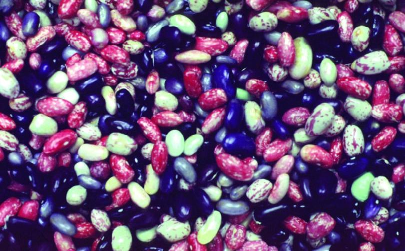 Speckbohne / Zuckerwachtel/ Phaseolus vulgaris