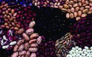 """Stangenbohne """"Wachtel""""/ Phaseolus vulgaris"""