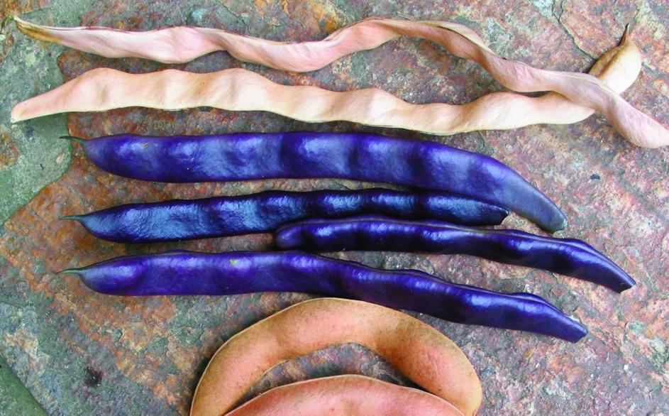 "Stangenfisole ""Blaue""/ Phaseolus vulgaris"