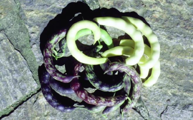 """Stangenfisole """"Echte Kipfler""""/ Phaseolus vulgaris"""