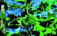 "Winter-Stangenfisole ""Einbohne aus Hartberg""/ Phaseolus vulgaris"
