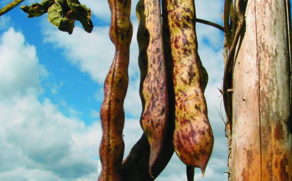 "Stangenfisole ""Pragerhof""/ Phaseolus vulgaris"