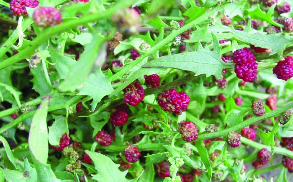 Erdbeerspinat/ Chenopodium foliosum
