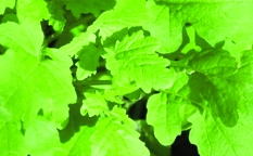 Großblättrige Kresse/ Lepidium sativum