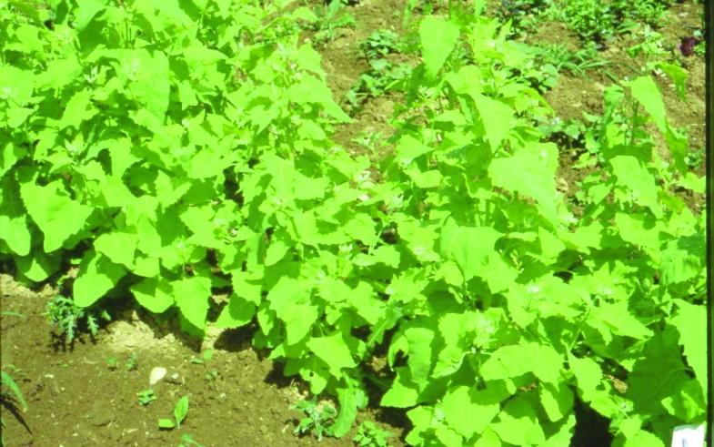 Grüne Gartenmelde/ Atriplex hortensis