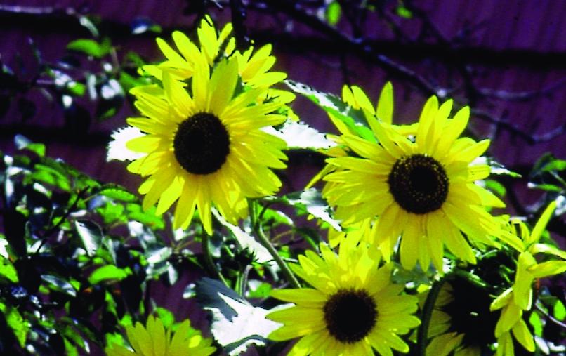 Garten-Sonnenblume/ Helianthus debilis