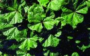 Gemüsemalve/ Malva crispa