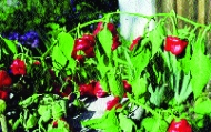 Glockenpaprika/ Capsicum baccatum