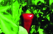 Große Rote Pfefferoni/ Capsicum annuum