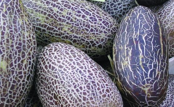 """Salatgurke """"Sikkim""""für das Freilandbeet/ Cucumis sativus"""