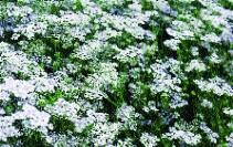 Koriander/ Coriandrum sativum