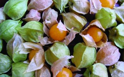 Ananaskirsche/ Physallis pruinosa