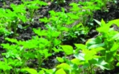 Asia-Salat-Mix/ Brassica rapa