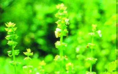 Großblättriges Basilikum/ Ocimum basilicum