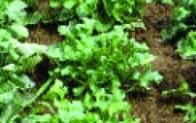 Löffelkraut/ Cochlearia officinalis
