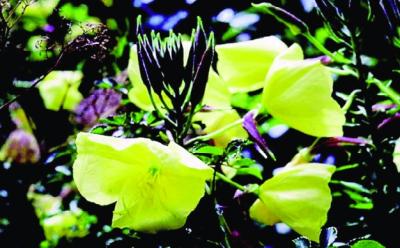 Großblütige Nachtkerze/ Oenothera grandiflora