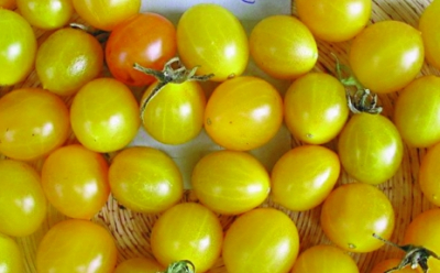 Wildtomate Clementine/ Lycopersicon lycopersicum