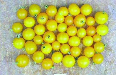 Gelbe Wildtomate/ Lycopersicon lycopersicum