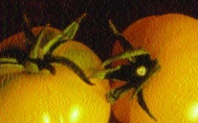 """Paradeis """"Gelbe zum Füllen""""/ Lycopersicon lycopersicum"""