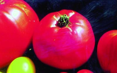 """Kalifornische Fleischtomate """"Ilse""""/ Lycopersicon lycopersicum"""