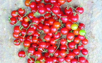 "Wildtomate ""Red Cherry""/ Lycopersicon lycopersicum"