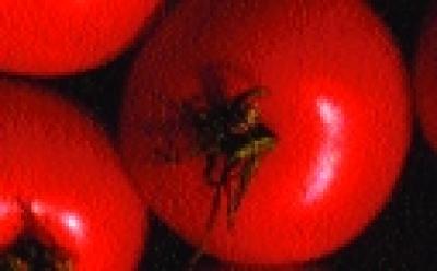 "Paradeis ""Rentita"" (Busch)/ Lycopersicon lycopersicum"