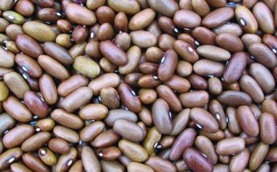 Buschtrockenbohne, Niederländische Landsorte/ Phaseolus vulgaris var. nanus