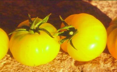 """""""Süße Gelbe"""" aus Ungarn/ Lycopersicon lycopersicum"""