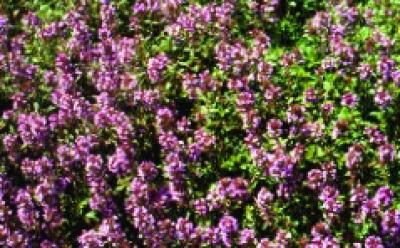Quendel/ Thymus serpyllum