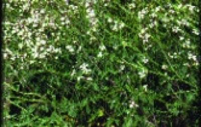 Rukola/ Eruca sativa