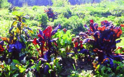 Forellen-Salat/ Lactuca sativa