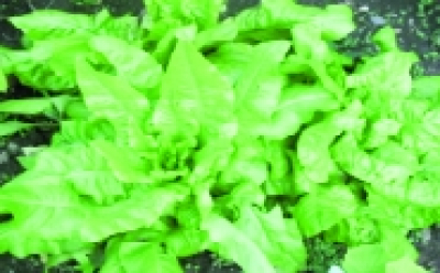"Kopfsalat ""Glavatica""/ Lactuca sativa"
