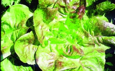 Kroatischer Winterhäupl/ Lactuca sativa