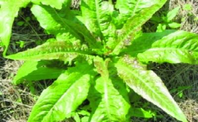 Spargelsalat/ Lactuca sativa