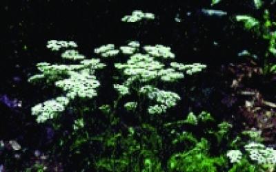 Schafgarbe/ Achillea millefolium